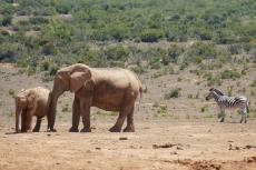Elefanten & Zebra