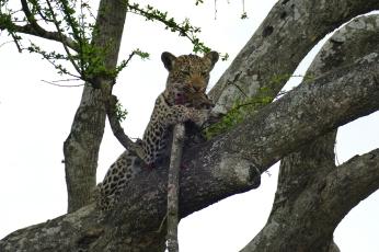 Leopardin Baum